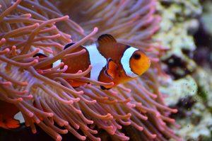 Clown fish near coral