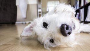 Little white dog lying on the floor.