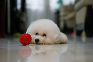 Home decor ideas for dog owners. A bichon lying on the floor.