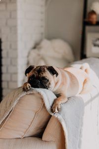 Home decor ideas for dog owners. Mops lying on the couch.