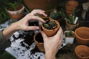 Hands planting cactus garden in terracotta pots