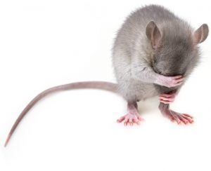 A mouse - Mice should be good reason to pest-proof your NYC home